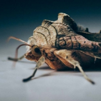 Agaatvlinder. (Phlogophora meticulosa)